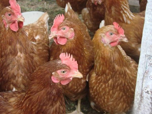 Несушка хай лайн — находка для птицефабрики