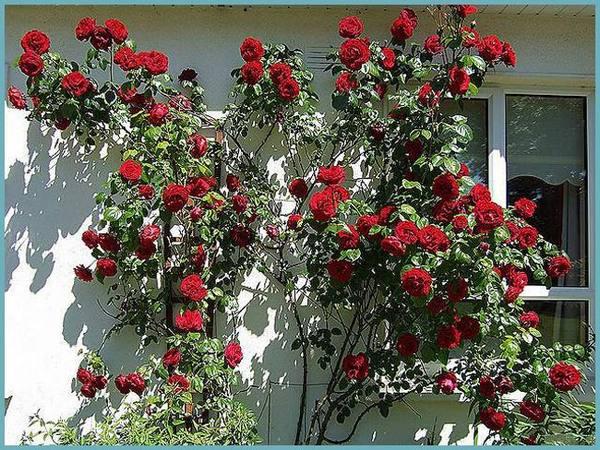 Выращивание розы плетистой в сибири 66